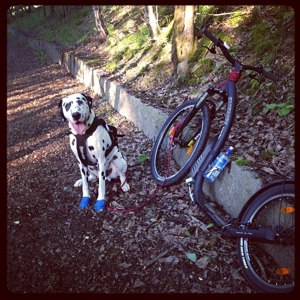 En liten pust i bakken #kickbike #hund #dalmatiner  #sykkel #trening #utpåturaldrisur #oslo #utinaturen