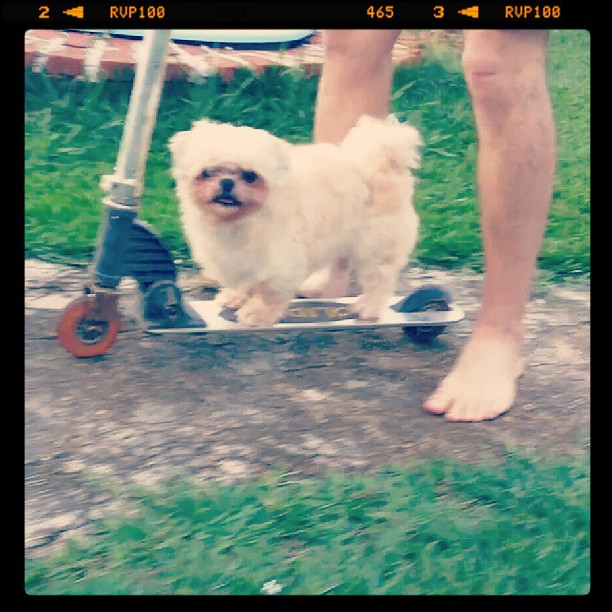 Só a minha dog anda de patinete :)) #dagla #dog #patinete #home #saturday #animals #instalove #instagram #instaanimal