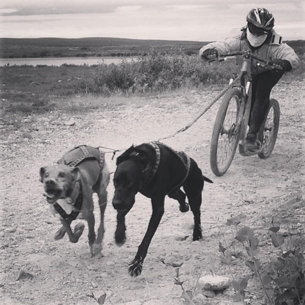 #kickbike #barmark #hundekjøring #mushing #fuglehund #vadsø #setter #esp #pointer #weimaraner