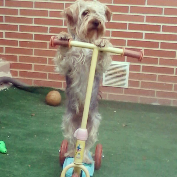 This is my dog Simba! #Patinete #Simba #Jorsay #Perro jajaja :D