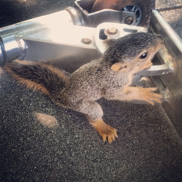 Saw a baby squirrel on my way to class and then he climbed my scooter #squirrel #scooter #razorscooter