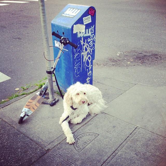 #strangerpups #dogsofcrema #razorscooter