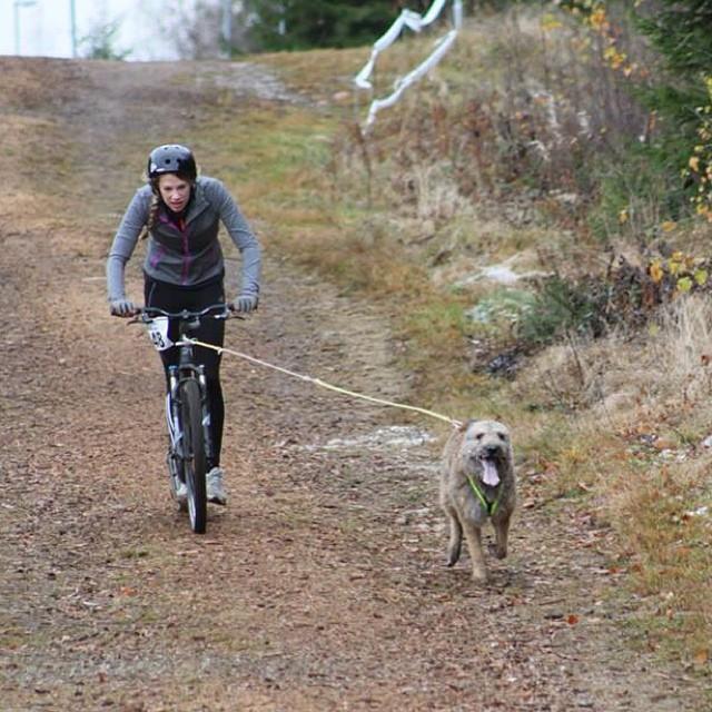 SM. Photo @matildagabrielsson #kickbike #draghundsport #dragsport #hundsport #dogsport #harligahund #belgiansheepdog