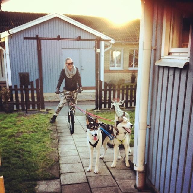 Första dragturen sedan i mars! Världens kick! Äntligen känner jag mig levande igen!  mina hundar är bäst!