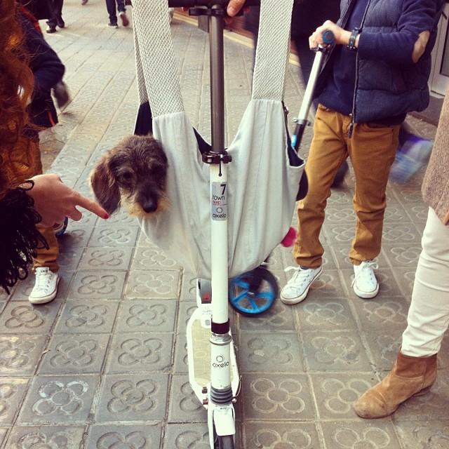 #sorpresina #amorino #cachorro #Bruno #monopattino #cucù #borsetta #caminando #moped #beautiful #dog #tutto #orecchie #turóparc @santgregori