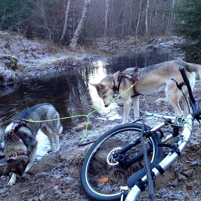 #november #break#kickbike#siberian #huskies #river#drinking#water#frost#ice#cold#forest#norway #ilovenorway #ignature #nature_s_perfection #