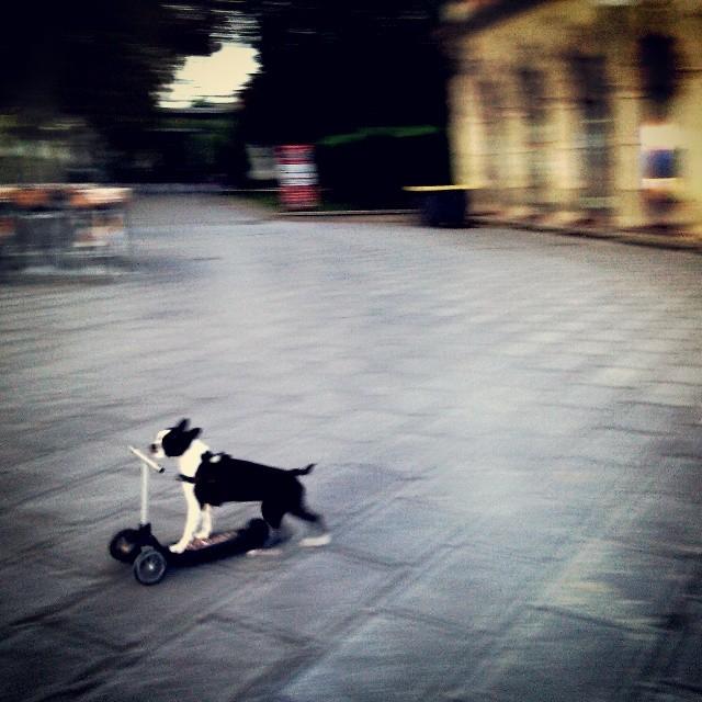 avez vous déjà vu, un chien en trotinette ? - maintenant, oui.  #montpellier