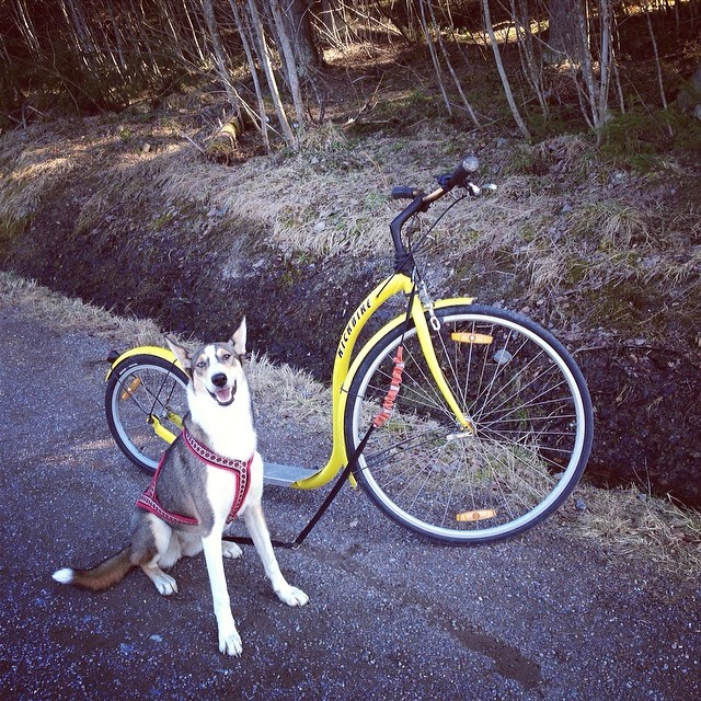 Satisfied girl! #pulling #kickbike #sleddog #training