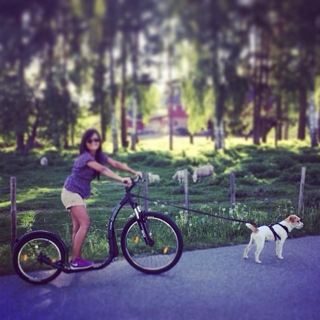New toy..Woohoo!! #oscar_charlie_parsonrussellterrier #parson #pets #poters #dogspic #dogs #doglover #ilovemydog #instagramdogs #instadog #instagramdogs #dogoftheday #dogoninstagram #terrier #kickbike #cute #bestfriends #jrtnorge #prtnorge #dogofnorway #terrierlove#doglover